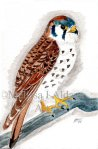 American Kestrel original Watercolor